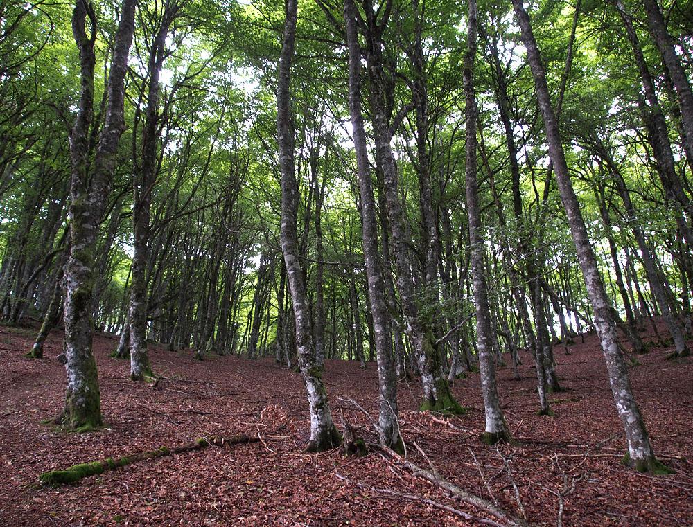 Lescun Beech Forest