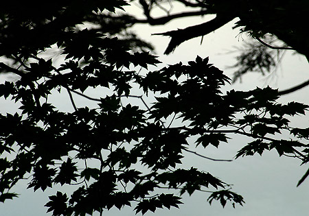 Lake You maple leaves