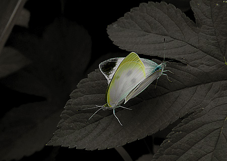Two cabbage butterflies
