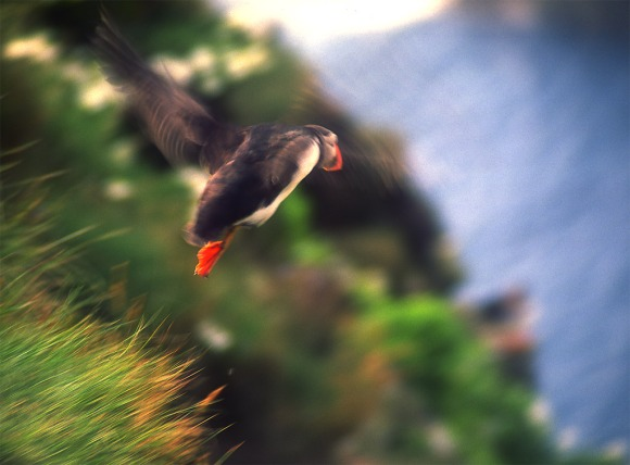 Shetlands Puffin Beating Wings