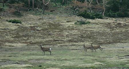 Goshiki tarn deer