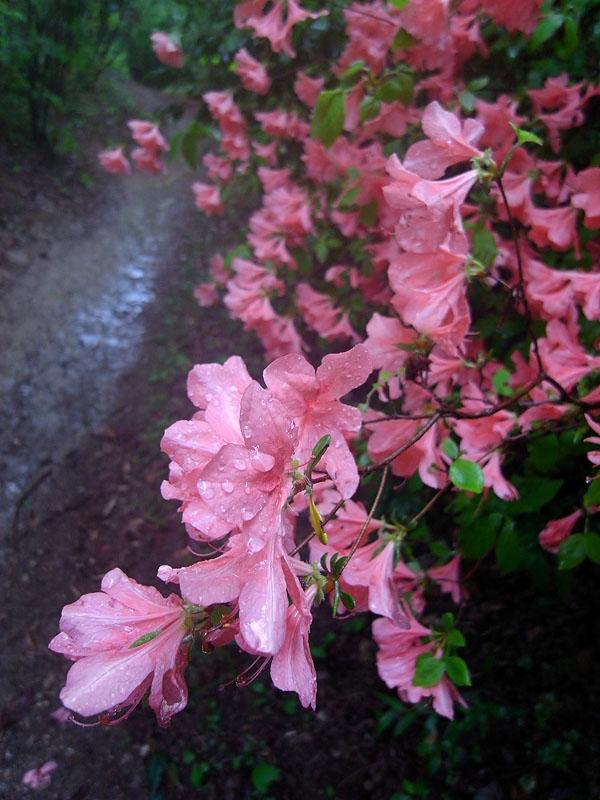 Maruyama Walk Trailside Rhododendron