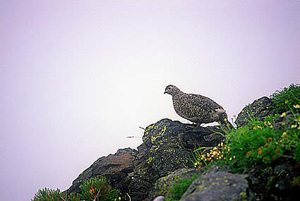 Ptarmigan South Alps