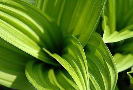 Oku-Shirane skunk cabbage