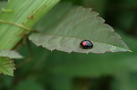Black ladybird beetle