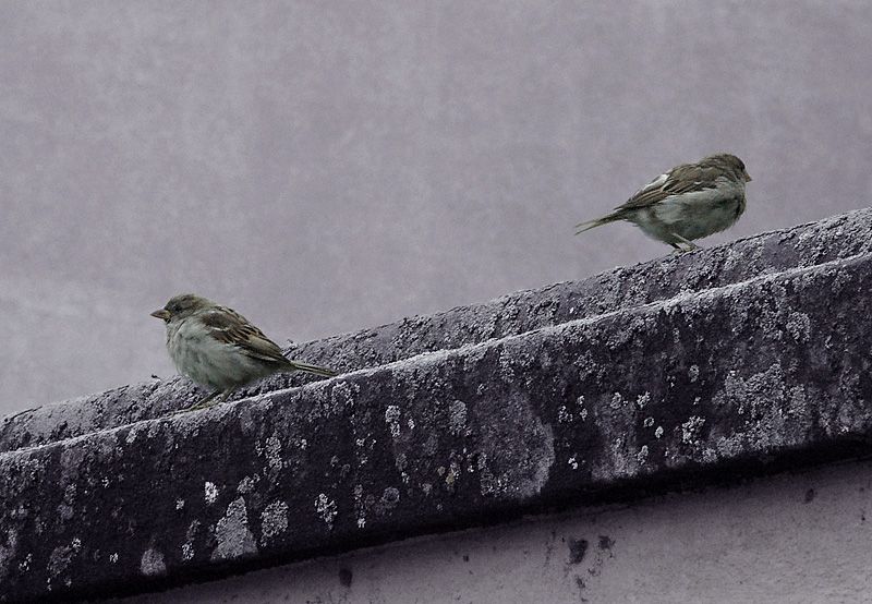 Luzern Sparrows