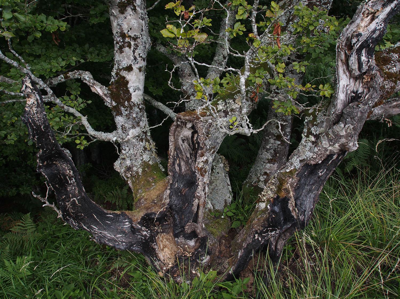 Lescun Burned Tree