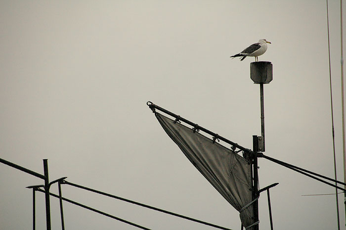 lone seagull sitting atop Minami Sanrikucho fishing boat mast after tsunami
