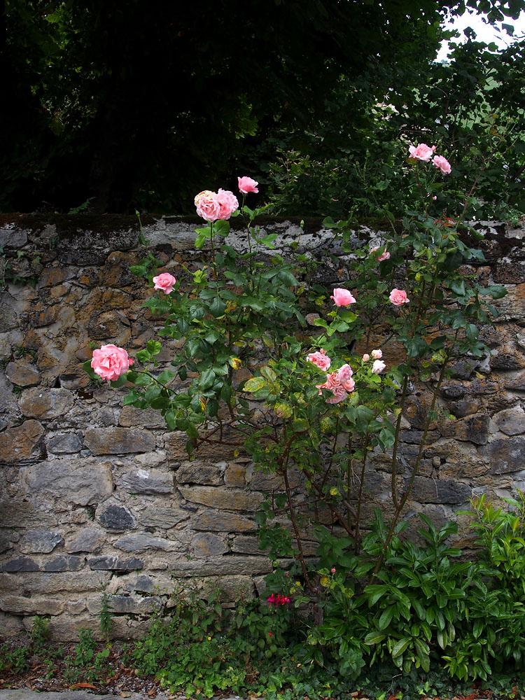 Lescun Church Rose