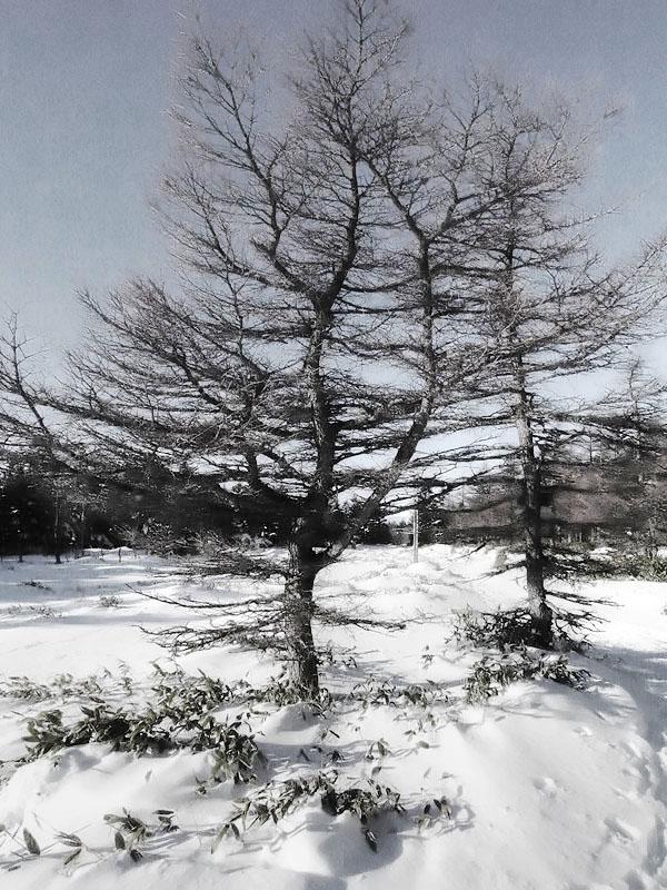 Yatsugatake Snowfield Trees