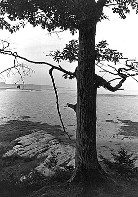 Maine Tree