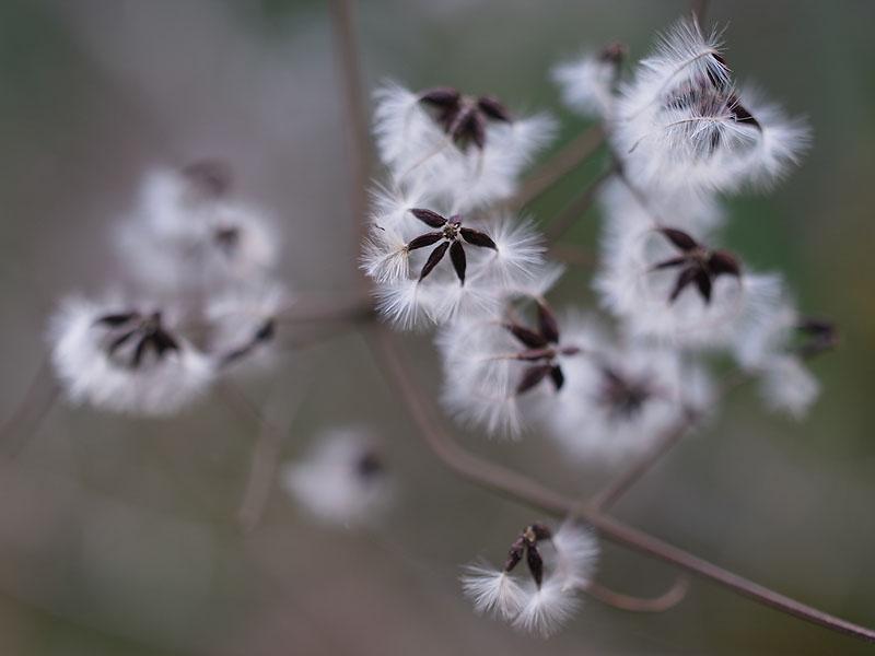 Okutama Mukashimichi Feathery Seeds