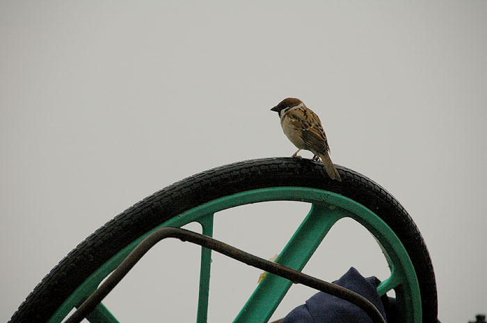 sparrow sitting on an overturned bicycle in the tsunami rubble