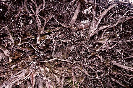 Upturned beech roots detail