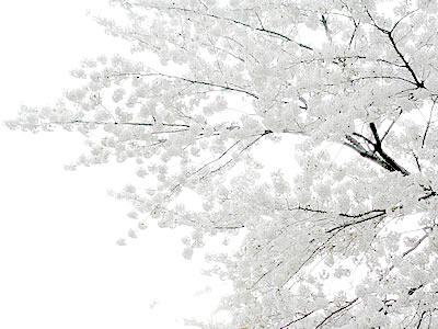 Cherry Blossoms Bright