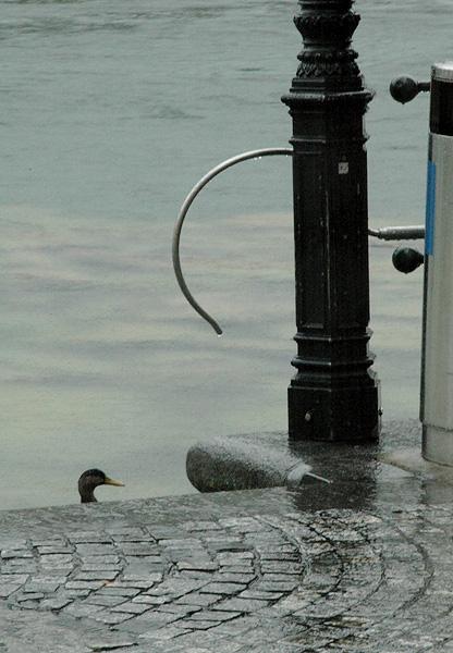 Luzern Duck 1