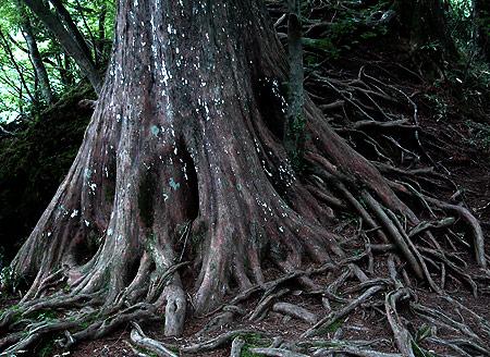 Oku-Shirane red pine roots