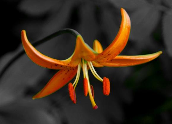 Karasawa lily