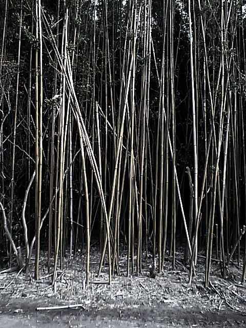 Bamboo Clearcut