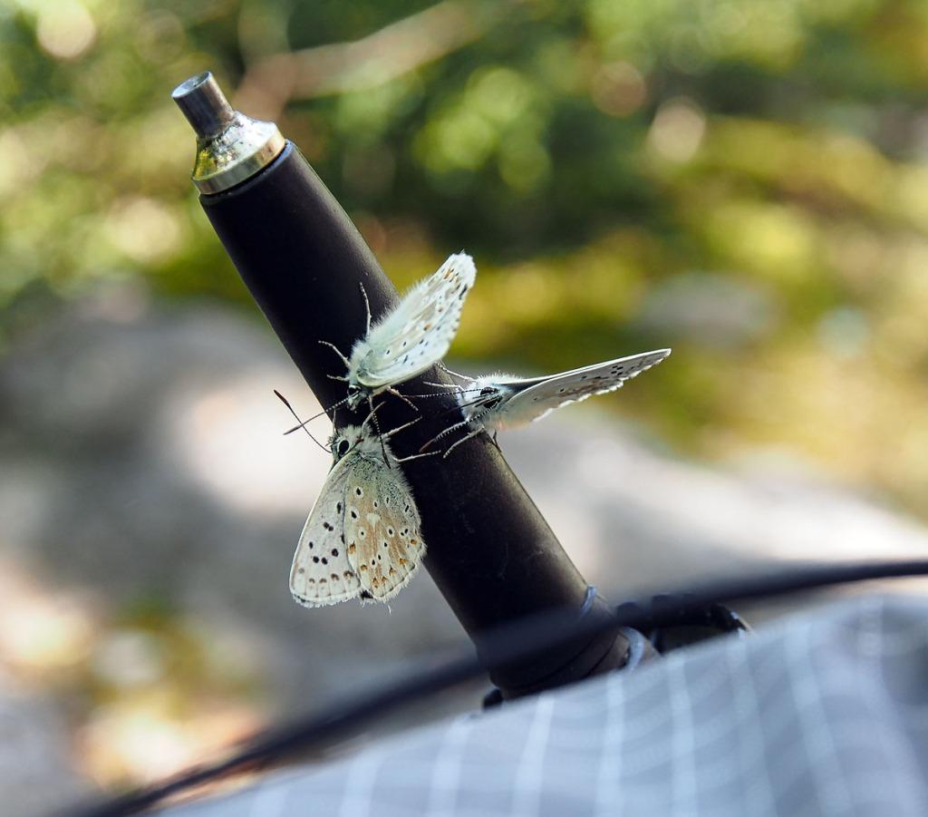 Adonis Blue Butterfly Trekking Pole