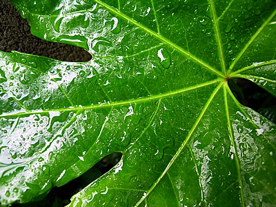 Japonica Rain