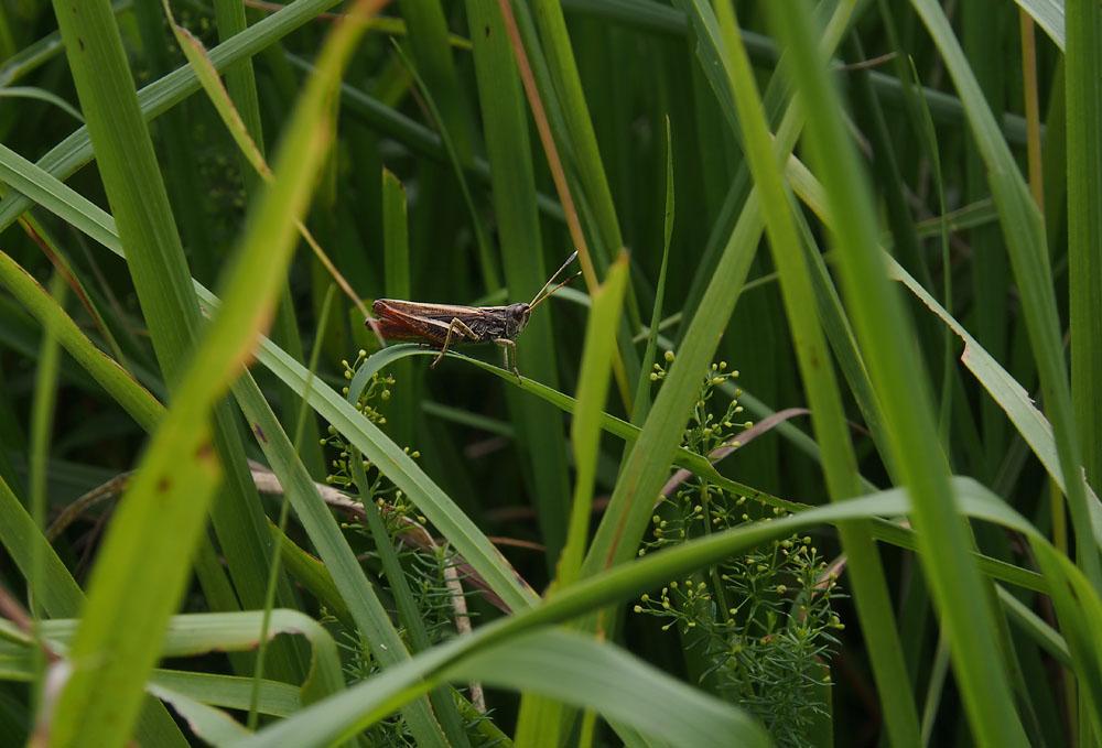 Lescun Grasshopper