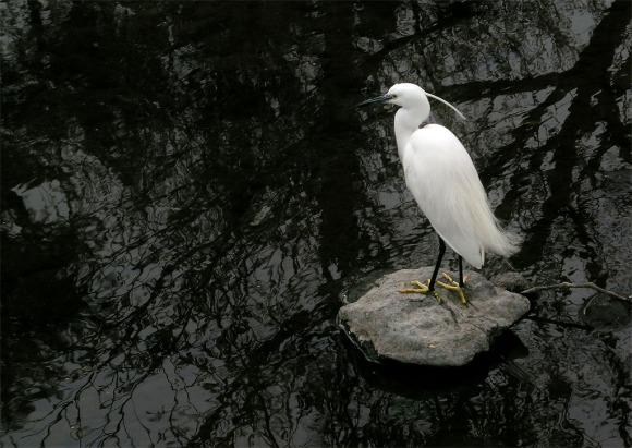 Grey river Little Egret