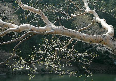 Oku-Shirane tarn birch