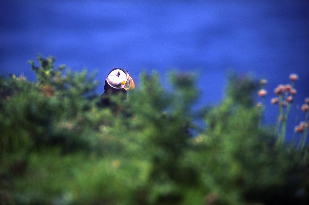 Shetlands Puffin Peeking