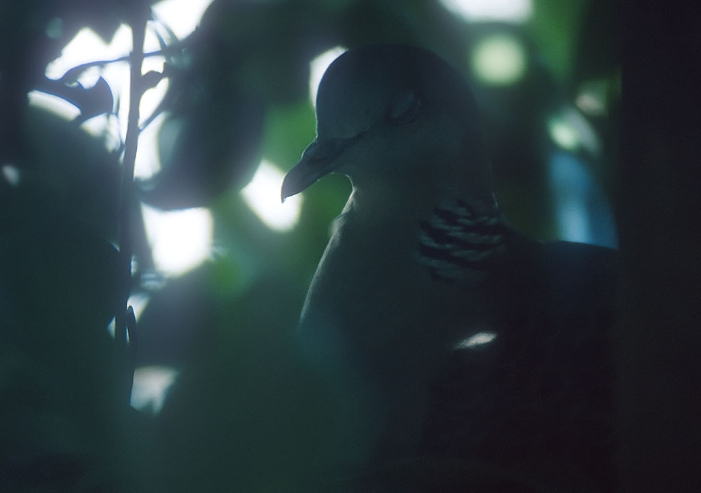 Dove Sleeping