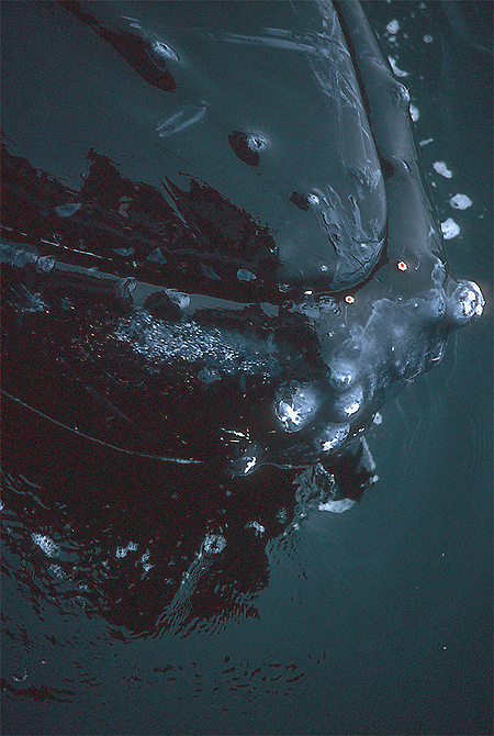 Humpback whale lips