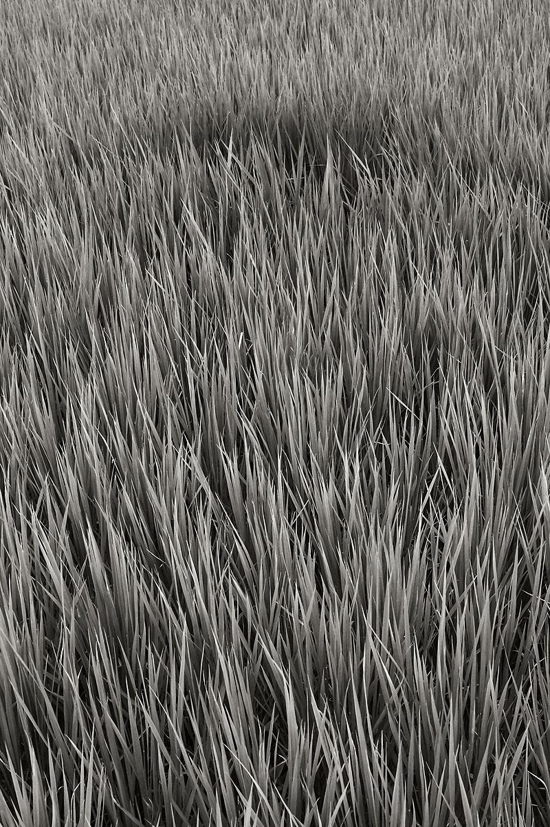 2012/07/14 Naruto Walk Rice Field