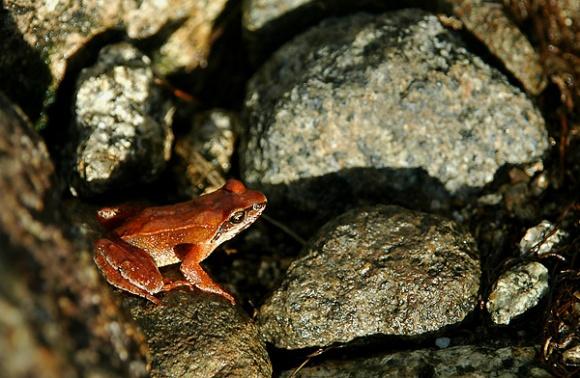 Kurobe frog