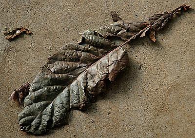 Dried biwa leaf