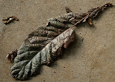 Dried biwa leaf