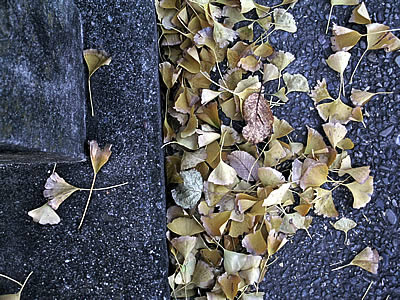 Gingko leaves on ground