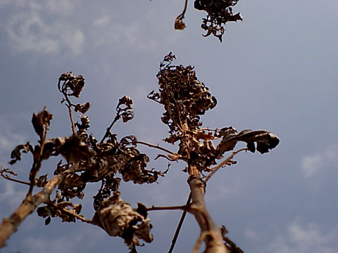 Dried Sky Flowers