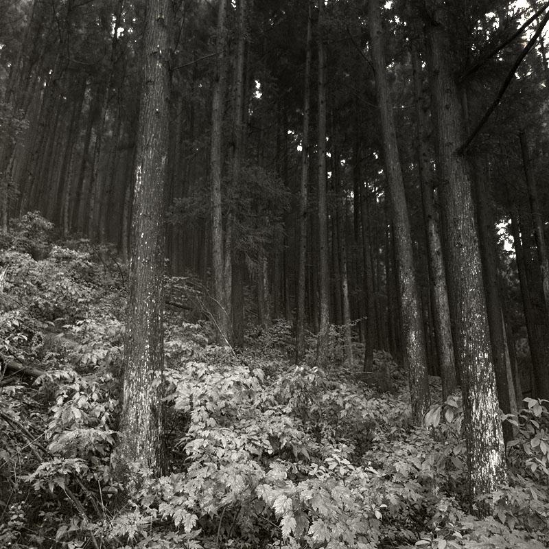 Maruyama Rising Forest