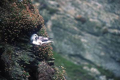 Fulmar Cuddle