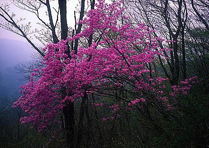 Sasaone Mountain Azalea
