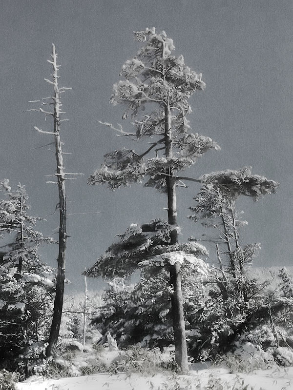 Yatsugatake Krummholz