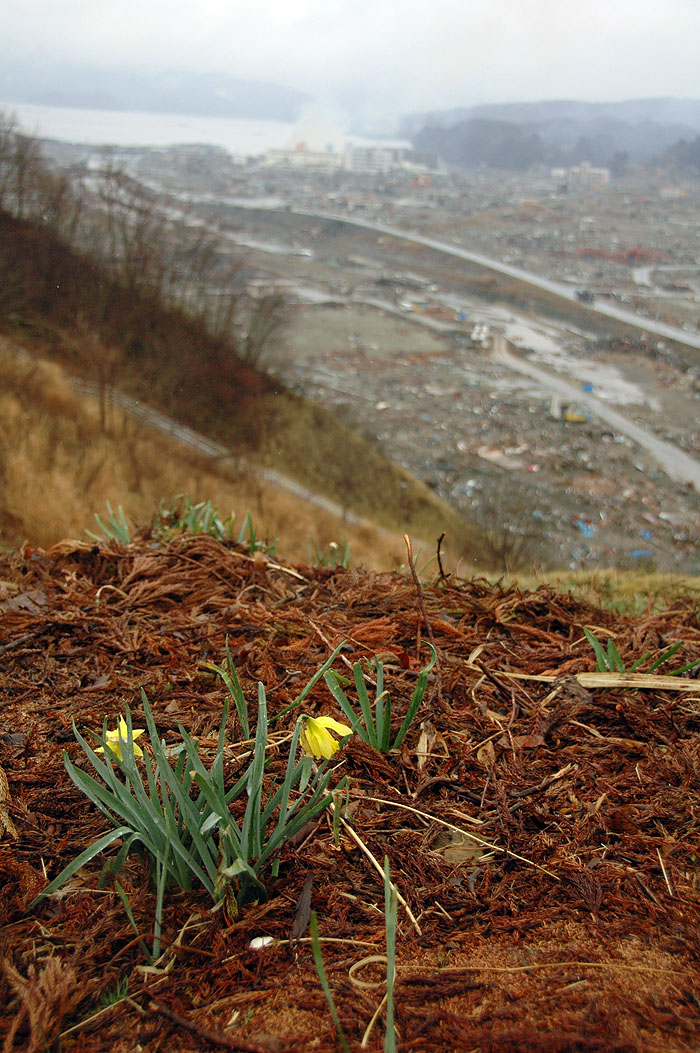 daffodils blooming above the tsunami devastation of Minami Sanrikucho