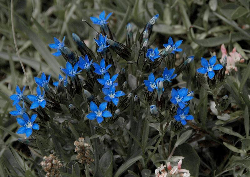 Alpine Violets