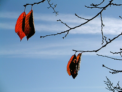 Cherry leaves clinging