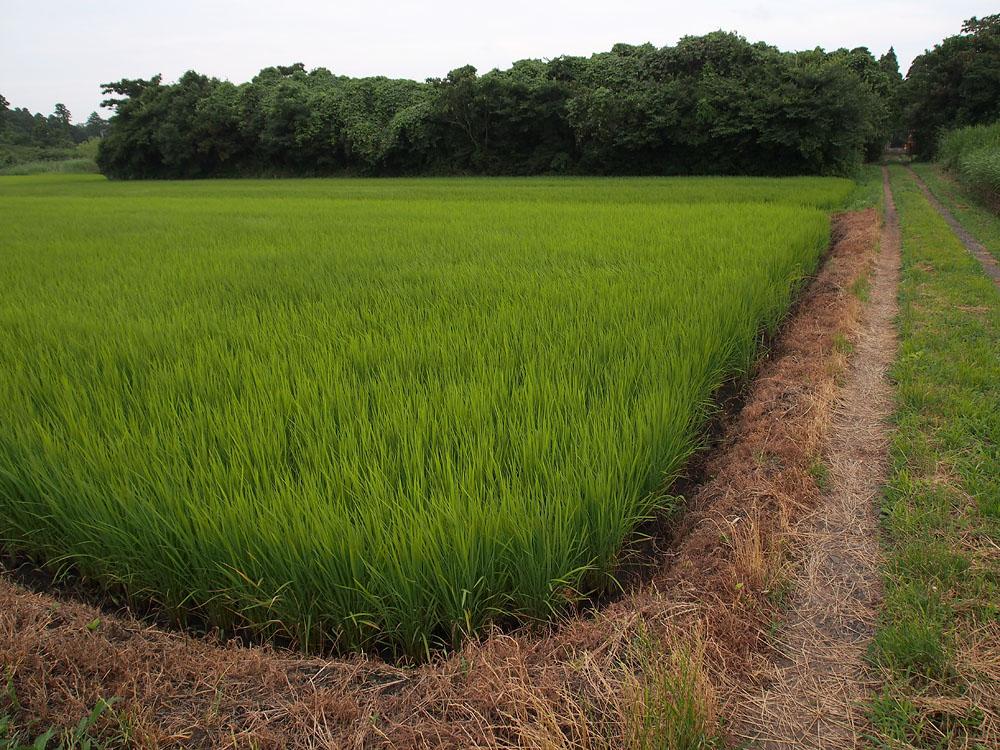 2012/07/14 Naruto Walk Corner Rice Paddy