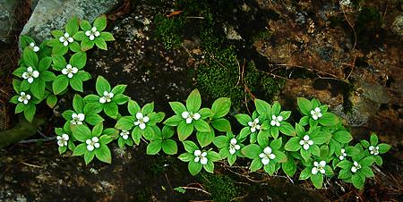 Senjo string of flowers