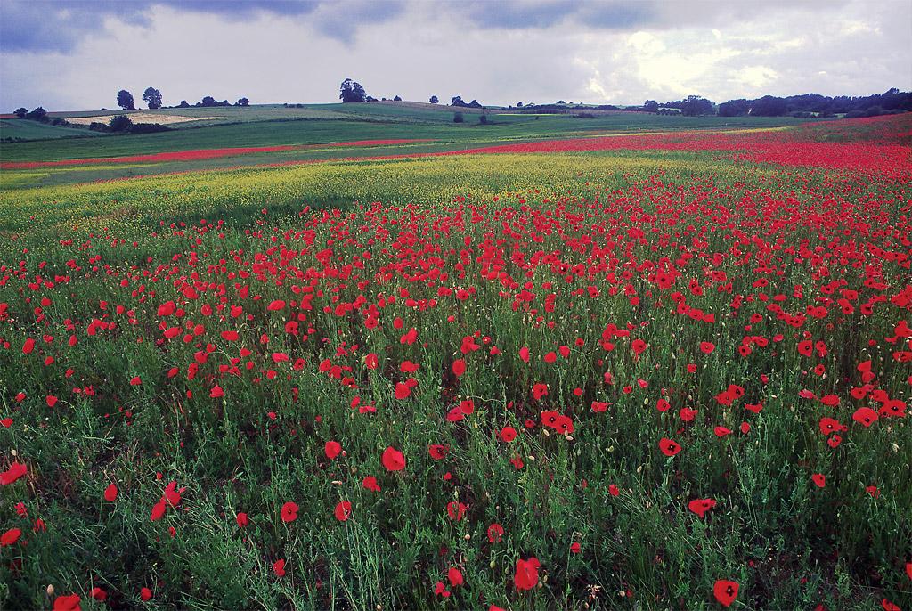 Poppy Field Germany