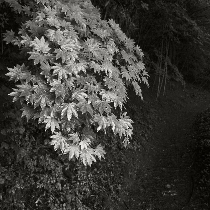 Maruyama Bright Leaves Dark Trail