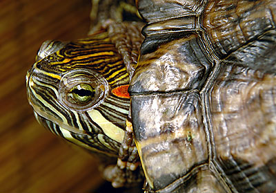 Pepe the Red-eared slider
