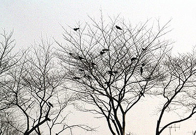 Waiting crows